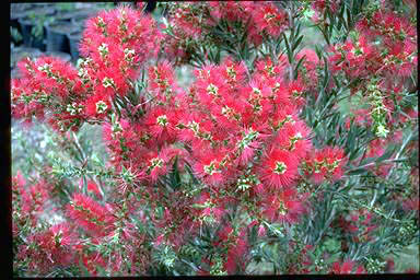APII jpeg image of Callistemon 'Hannah's Child'  © contact APII