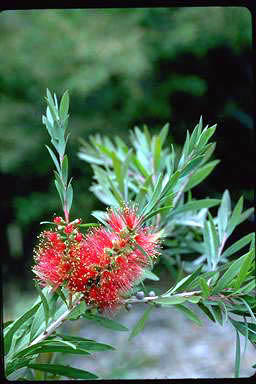 APII jpeg image of Callistemon 'Kempsey'  © contact APII