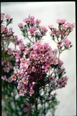 APII jpeg image of Chamelaucium 'Susie'  © contact APII