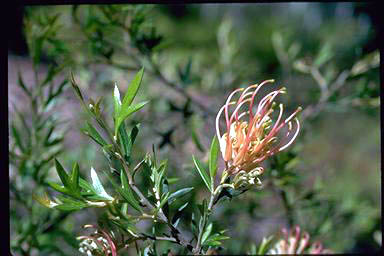APII jpeg image of Grevillea 'Old Gold'  © contact APII