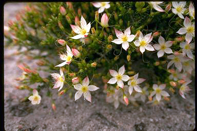 APII jpeg image of Calytrix cresswellii  © contact APII