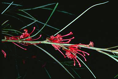 APII jpeg image of Grevillea dimorpha  © contact APII