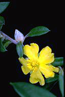 Hibbertia saligna - click for larger image