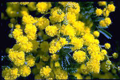 APII jpeg image of Acacia cardiophylla 'Gold Lace'  © contact APII