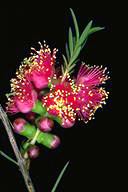 Melaleuca 'Hot Pink' - click for larger image