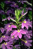 Scaevola 'New Blue' - click for larger image