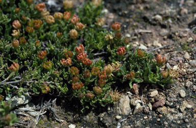 APII jpeg image of Dodonaea procumbens  © contact APII