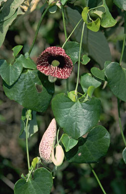 APII jpeg image of Aristolochia elegans  © contact APII