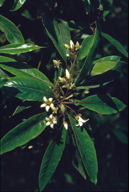 APII jpeg image of Pittosporum undulatum  © contact APII