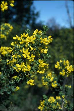 APII jpeg image of Genista monspessulana  © contact APII