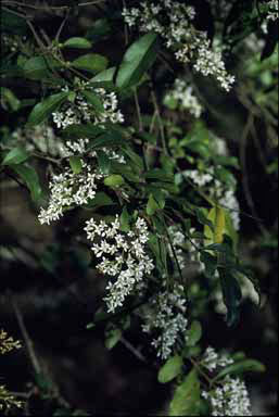 APII jpeg image of Ligustrum sinense  © contact APII