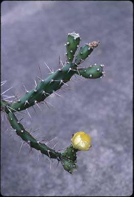 APII jpeg image of Opuntia aurantiaca  © contact APII