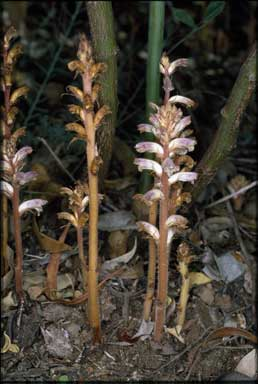 APII jpeg image of Orobanche minor  © contact APII