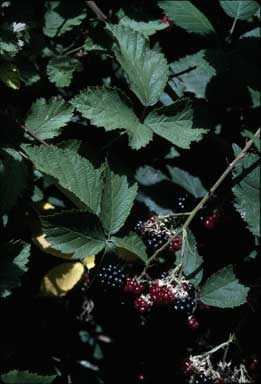 APII jpeg image of Rubus fruticosus  © contact APII