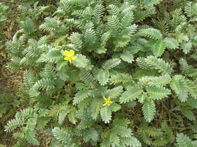 APII jpeg image of Tribulus cistoides  © contact APII