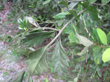 APII jpeg image of Baccharis halimifolia  © contact APII
