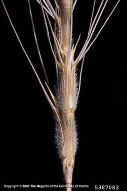 APII jpeg image of Aegilops triuncialis  © contact APII