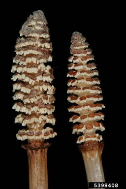 APII jpeg image of Equisetum arvense  © contact APII