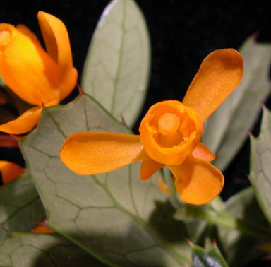 APII jpeg image of Berberis darwinii  © contact APII