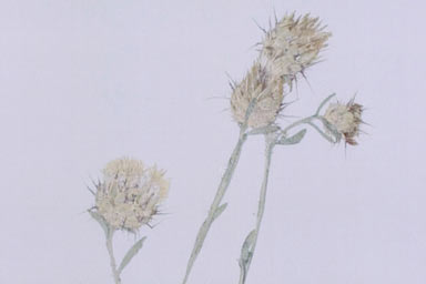 APII jpeg image of Centaurea eriophora  © contact APII