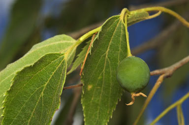 APII jpeg image of Celtis australis  © contact APII
