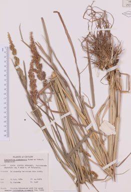 APII jpeg image of Echinochloa glabrescens  © contact APII