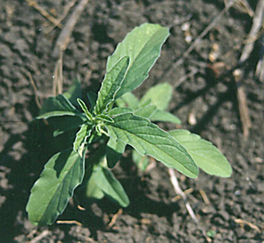 APII jpeg image of Salvia reflexa  © contact APII