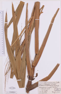 APII jpeg image of Zizania latifolia  © contact APII