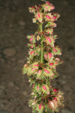APII jpeg image of Rumex pulcher  © contact APII