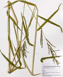 APII jpeg image of Urochloa mutica  © contact APII