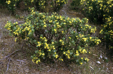 APII jpeg image of Chrysanthemoides monilifera subsp. monilifera  © contact APII