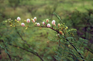 APII jpeg image of Mimosa pigra  © contact APII