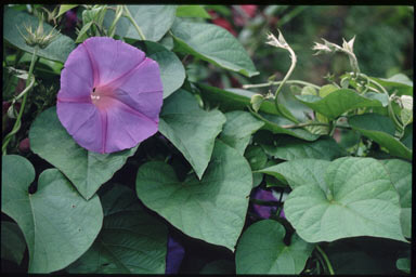 APII jpeg image of Ipomoea indica  © contact APII