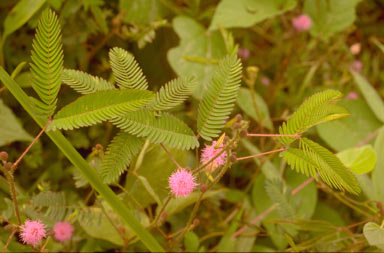 APII jpeg image of Mimosa pudica  © contact APII